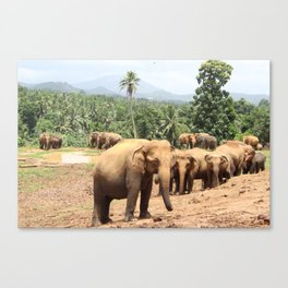 Elephant Herd in Sri Lanka Canvas Print