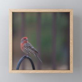 Pretty Bird - House Finch Framed Mini Art Print