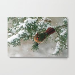 Showing Her Feathers (Northern Cardinal) Metal Print