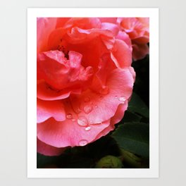 Pink Rose and Rain Art Print