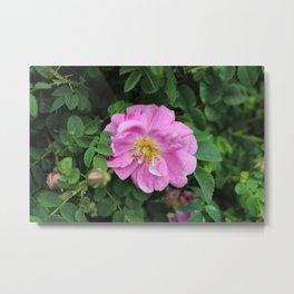 Rose Throws Metal Print