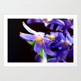 Bluestar bloom Art Print