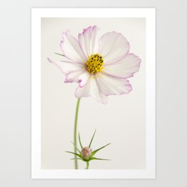 Sensation Cosmos White and Pink Art Print