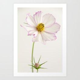 Sensation Cosmos White and Pink Art Print
