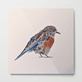 Bird: Bluebird Series | Western Bluebird Metal Print