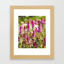 Colorful Celosia Framed Art Print
