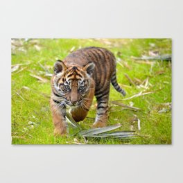 Tiger Cub on the Move Canvas Print