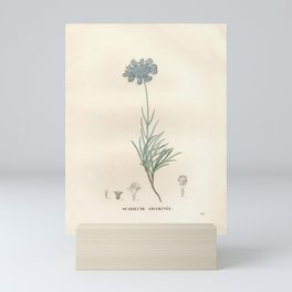 Flower scabiosa graminifolia2 Mini Art Print
