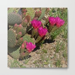 Beavertail Cactus in Bloom Metal Print