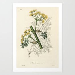 Ferula persica illustration from Medical Botany (1836) by John Stephenson and James Morss Churchill. Art Print