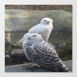 Owls looking at me Canvas Print