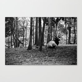 Elk Laying Down in Woods Canvas Print