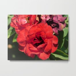 Roses are red Metal Print
