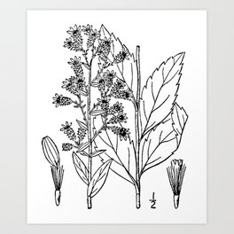 Botanical Scientific Illustration Black and White Art Print