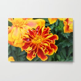 Orange Marigold with Rain Drops Metal Print