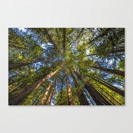 Coastal Redwoods aka Coast Redwood and California Redwood (Sequoia sempervirens) Canvas Print
