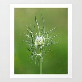 Nigella damascena Art Print