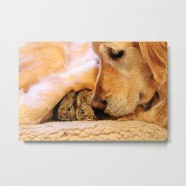 Golden Retriever and her baby bunnies Metal Print