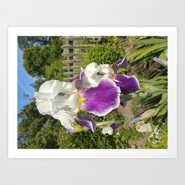 White and violet iris flowers Art Print