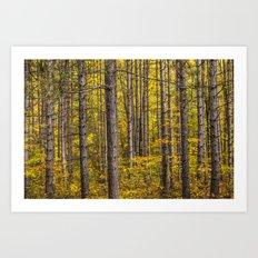 Fall Colors among Pine Trees Art Print