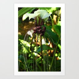 White Bat Flower Art Print