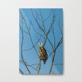 Leucistic Bald Eagle Metal Print