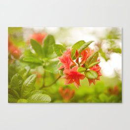Azalea Il Tasso flowers red Canvas Print