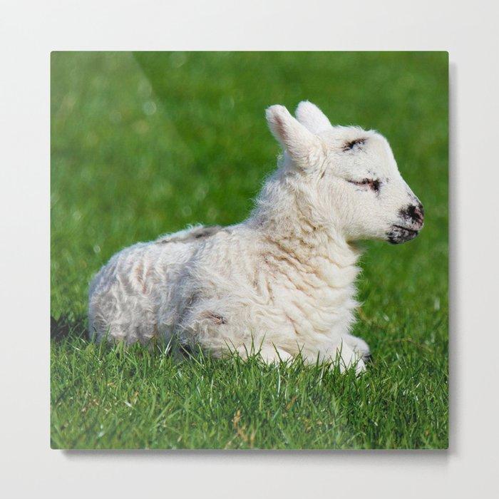 A Sleepy Newborn Lamb In A Field Metal Print