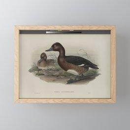 317 Nyroca leucophthalmos. White eyed or Ferruginous Duck Framed Mini Art Print