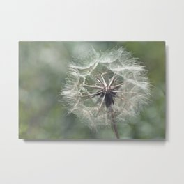 Tragopogon -Meadow Salsify 43 Metal Print