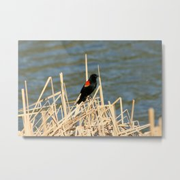Red Winged Blackbird Perched on Marsh Grass Metal Print