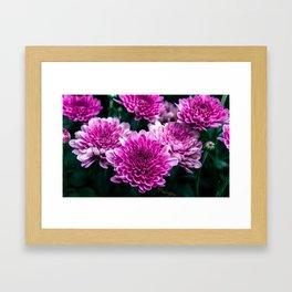 Purple Mums Framed Art Print