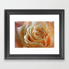 Honey Peach Rose Framed Art Print