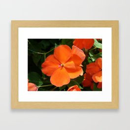 Vivid Orange Vermillion Impatiens Flower Framed Art Print