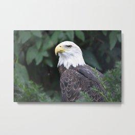 National Aviary - Pittsburgh - Bald Eagle 3 Metal Print