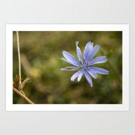 Chicory #4 Art Print