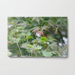 Sitting Hummingbird Metal Print