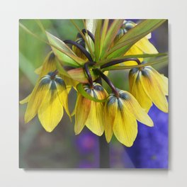 Crown imperial flower (yellow, blue, orange) Metal Print