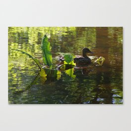 Duck at Rest Canvas Print