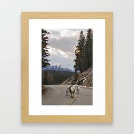 Big Horned Sheep Framed Art Print