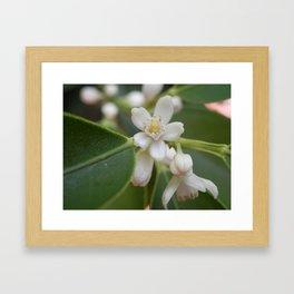 Fortunella (Kumquat) Framed Art Print