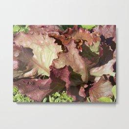 Red Leaf Lettuce leaves freshly picked Metal Print