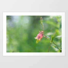 Columbine Bloom Art Print
