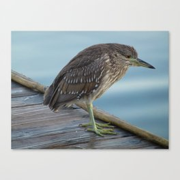 Immature Night Crowned Heron Canvas Print
