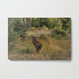 Red deer, rutting season Metal Print