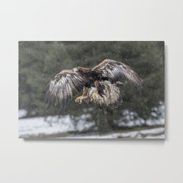 Eagle In The Snow. Metal Print