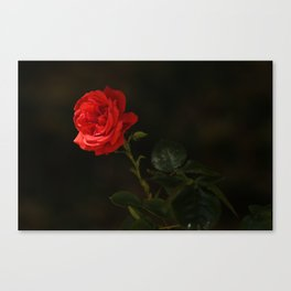 The wild red rose Canvas Print