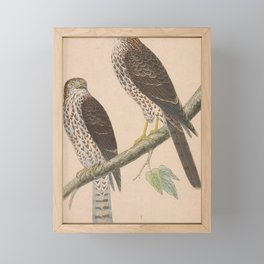 Vintage Print - A History of the Birds of Europe (1859) - Levant Sparrowhawk Framed Mini Art Print
