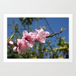 Peach Tree Blossom Against Blue Sky Art Print