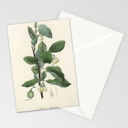 Styrax officinalis illustration from Medical Botany (1836) by John Stephenson and James Morss Church Stationery Cards